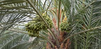 Palm trees with raw dates royalty free stock photography