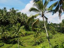Palm trees reach out above rice terrace Stock Photography