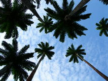 Palm trees reaching for the sky. Dark undersides against the blue sky royalty free stock images