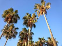 Palm Trees Reaching Toward Blue Sky Royalty Free Stock Photography