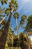 Palm trees reaching towards a blue sky. Frog perspective. Three palm trees reaching towards a blue sky. Maspalomas, Gran Canaria in Spain. Vertical image, frog Stock Images