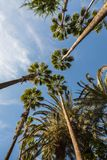 Palm trees reaching towards a blue sky. Frog perspective. Three palm trees reaching towards a blue sky. Maspalomas, Gran Canaria in Spain. Vertical image, frog Royalty Free Stock Image
