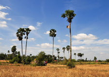 Palm trees on rice field in Cambodia Stock Image