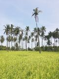 Palm trees in rice field and clear blue sky royalty free stock image