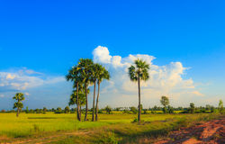 Palm trees and rice field, Myanmar. The main industry in Myanmar is agriculture. Rice remains the country's most crucial agriculture commodity and also sugarcane Stock Images