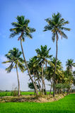 Palm trees on rice field Stock Photos