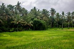Palm Trees in Rice Terrace fields, Ubud, Bali, Indonesia royalty free stock image