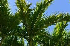 Palm Trees in Roatan, Honduras Stock Image