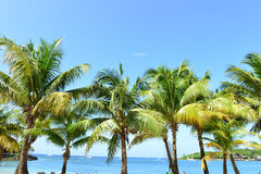 Palm Trees in Roatan, Honduras Royalty Free Stock Photo