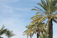 Palm trees. In a row Royalty Free Stock Photos