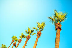Palm trees in a row Royalty Free Stock Images