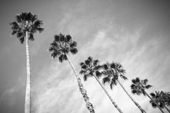 Palm trees. Row of palm trees in black and white Stock Photos