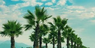 Palm trees. Row of date palm trees Royalty Free Stock Images