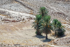 Palm trees in Sahara desert Stock Image