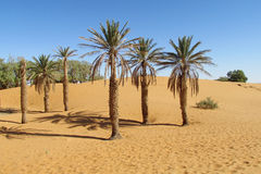 Palm trees in sand desert stock photos