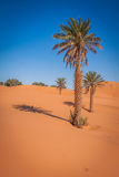 Palm trees and sand dunes in the Sahara Desert, Merzouga, Morocc Royalty Free Stock Images