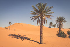 Palm trees and sand dunes in the Sahara Desert, Merzouga, Morocc Royalty Free Stock Image