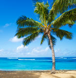Palm trees on the sandy beach in Hawaii. Coconut Palm tree on the sandy Poipu beach in Hawaii, Kauai Stock Photos