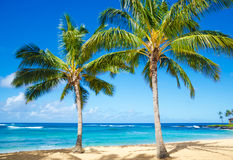 Palm trees on the sandy beach in Hawaii. Coconut Palm tree on the sandy Poipu beach in Hawaii, Kauai Royalty Free Stock Photos