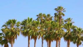 Palm trees at Santa Monica beach stock video