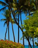 Palm trees and sea grapes in Hawaii. Palm Trees, Sea grapes, and beautiful blue tropical water Stock Photos