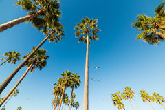 Palm trees and seagulls in Venice beach Stock Images