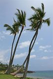 Palm Trees at the seashore. Grouping of four palm trees at the seashore Stock Photos