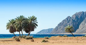 Green palm trees on the shore of the Red Sea against the backdrop of the high rocky mountains in Egypt stock photo