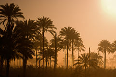 Palm Trees Silhouette. A silhouette landscape of palm trees in Egypt Stock Image