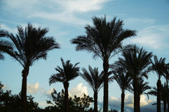 Palm-trees silhouette Stock Images