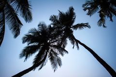 Palm trees silhouette, India Stock Image