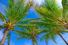 Palm trees  and sky. A cluster of palm trees and the colour of a beautiful blue sky which clearly portrays a tropical paradise Royalty Free Stock Photography