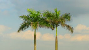 Palm trees and sky stock video footage