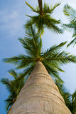 Palm Trees and the Sky. Palm trees taken from below Royalty Free Stock Images