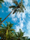 Palm trees and sky. Stock Image