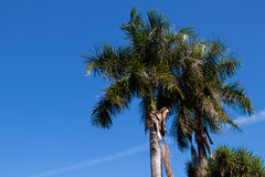 Palm trees in sky. Background Royalty Free Stock Images