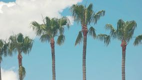 Palm trees on sky background. Tropical plants in the wind. Spend summer in exotic place stock video