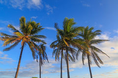 Palm trees and sky. Palm trees in the miami beach with sky with some clouds Royalty Free Stock Images