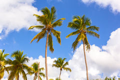 Palm trees and Sky. Some Palm trees and Sky with Clouds royalty free stock photography