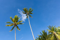Palm trees in the sky. Two tall palm trees tower up in to a beautiful blue sky with one small cloud between them Stock Image