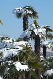 Palm trees with snow on it. Palm trees with snow on Swiss alps Stock Photography