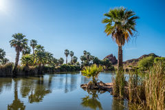 Palm Trees by Pond. Palm trees soak in the late afternoon sunlight by one of Papago Park`s ponds in Phoenix, Arizona Royalty Free Stock Photography