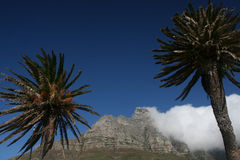Palm trees in south africa. Palm trees near the Table mountain, at Cape town in south africa Royalty Free Stock Photography