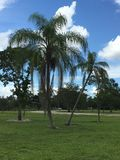 Palm trees in south Florida Everglades. Palm trees in sunny south Stock Image