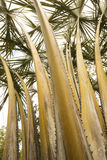 Palm trees in springtime in south Florida. Serrated, thorny stems of a towering palm tree in south Florida stock photos