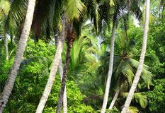 Palm trees. Sri Lanka. Palm trees on the coast of the Indian Ocean in Sri Lanka - an island located south of the Indian Peninsula Stock Photos