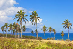 Palm trees on st kitts Stock Images