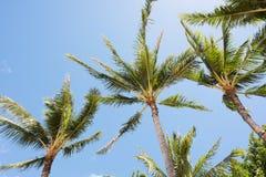 Hawaiian Palm Trees Stock Photo
