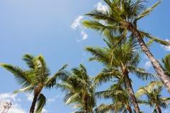 Hawaiian Palm Trees Royalty Free Stock Image