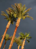 Palm trees before the storm. Royalty Free Stock Image